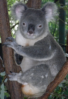 Male koala. Source: Wikimedia Commons.