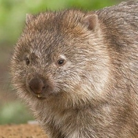 A wombat. All the Australian marsupials fill similar niches to placentals on other continents. Rather than being primitive, the marsupial condition is highly adaptive and allows creatures without migration roots, such as the placentals, to survive adverse conditions. Source: JJ Harrison. https://en.wikipedia.org/wiki/File:Vombatus_ursinus_-Maria_Island_National_Park.jpg