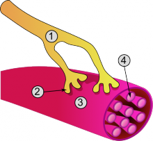Overall structure of a muscle cell and neuromuscular junction:1. Axon2. Neuromuscular junction3. Muscle fiber (Myocyte)4. Myofibril https://commons.wikimedia.org/wiki/File:Synapse_diag3.png