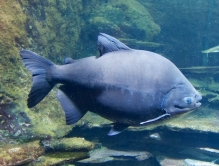 https://www.flickr.com/photos/21708387@N02/9650579634 Black Pacu.