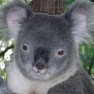 Male koala. Source:Wikimedia Commons.