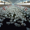 A commercial chicken farm. Wikimedia Commons