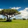merged pic of 2 Fotolia pics:   Nile river, Uganda © Dmitry Pichugin and  african tree © willem169