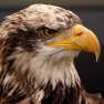CC Sharealike Tim Felce https://commons.wikimedia.org/wiki/File:Eagle_-_Abingdon_2013_(8718183760).jpg
