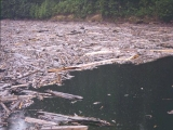 "<p>Floods caused by the eruption of Mt. St. Helens tore trees from the ground, and gathered them into lakes after the second eruption. If there had been a further mud flow, these logs would have been buried in the direction of stream flow as are the horizontal logs in petrified forests.</p> <p>Watch our series <a href=""https://amazingdiscoveries.tv/c/10/Genesis_Conflict_-_English/"">Genesis Conflict on ADtv</a> for more information. </p>"
