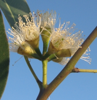 Eucalyptus blossoms.Source: tonrulkens on Flickr.