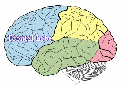 public domain. https://commons.wikimedia.org/wiki/File:Lobes_of_the_brain_NL.svg