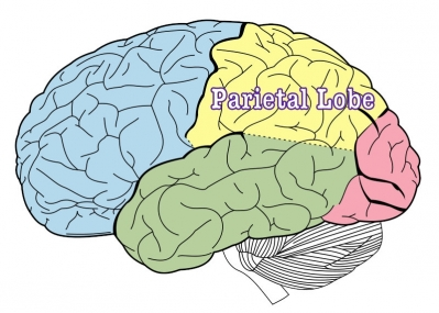 Public Domain https://commons.wikimedia.org/wiki/File:Lobes_of_the_brain_NL.svg