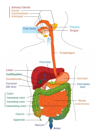 Public Domain. https://en.wikipedia.org/wiki/File:Digestive_system_diagram_edit.svg