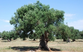 An olive tree. Source: Yellow.cat on Flickr. CC Yellow.Cat on Flickr https://www.flickr.com/photos/9084427@N07/4752183682/in/photolist-8eSUi4-8eWbDq