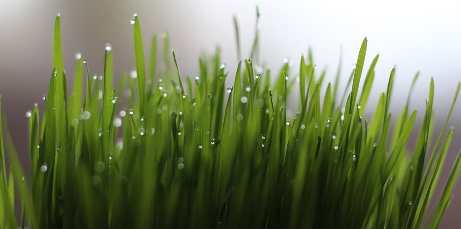 Article: Wheatgrass